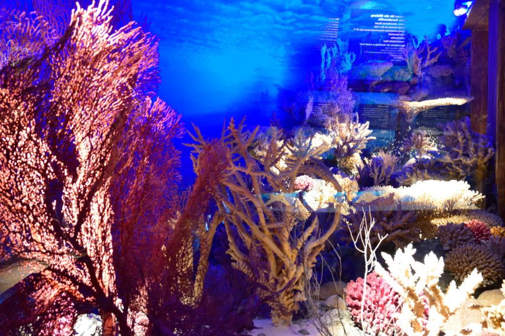 ザルツブルク自然博物館のサンゴの展示