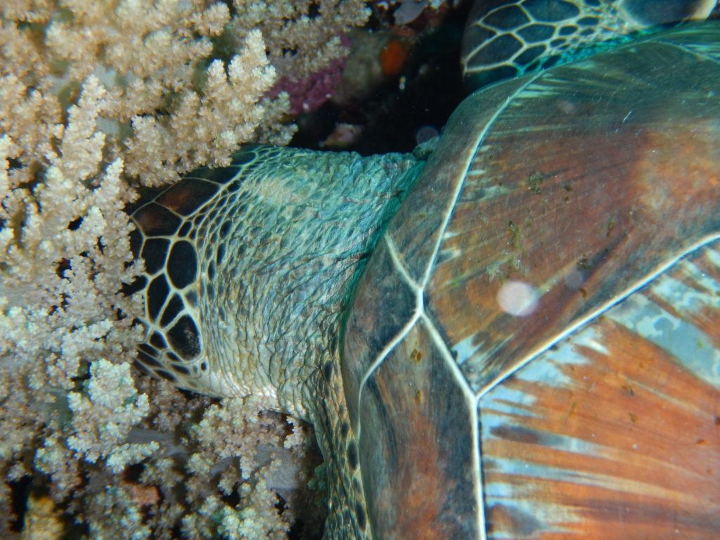 爆睡中のウミガメ