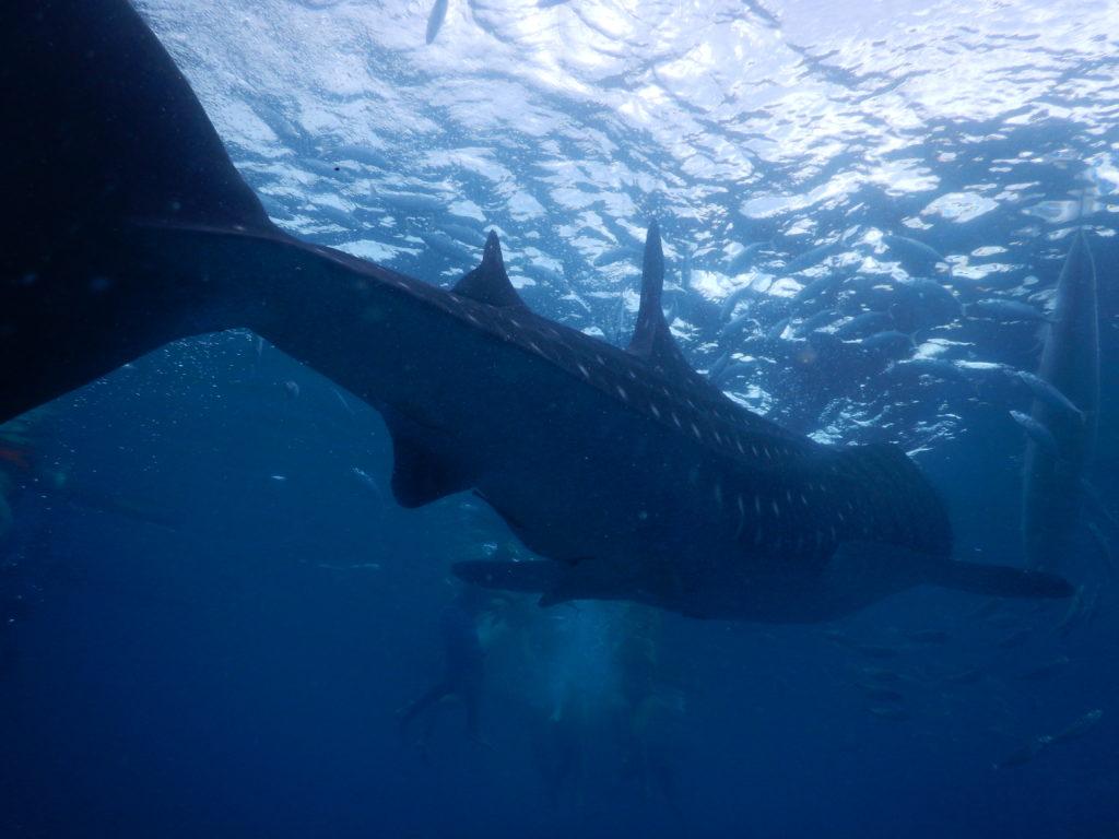 ジンベイザメを尾から撮影