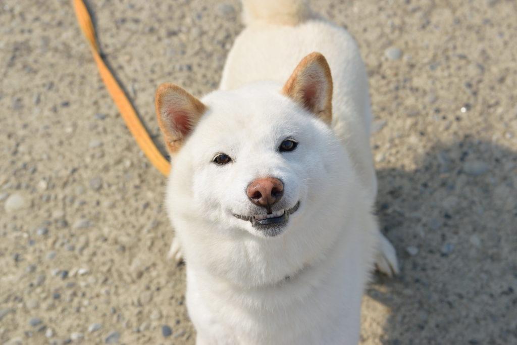 見上げる白の秋田犬