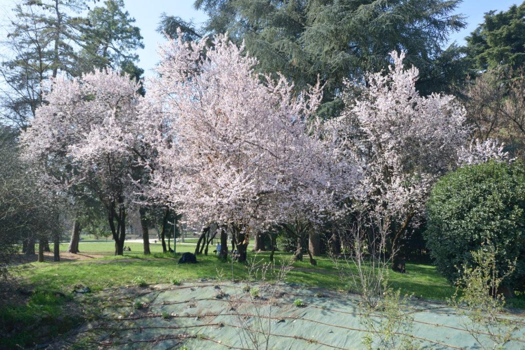 センピオーネ公園の桜