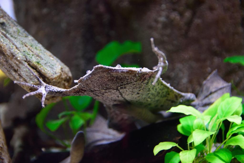 薄いカエル