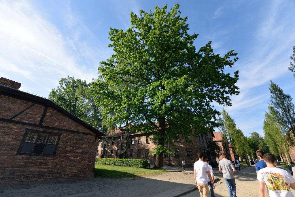 アウシュビッツのポプラの木