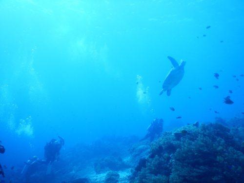 浮上するウミガメ