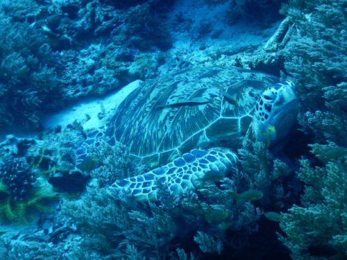 カメラ目線のウミガメ