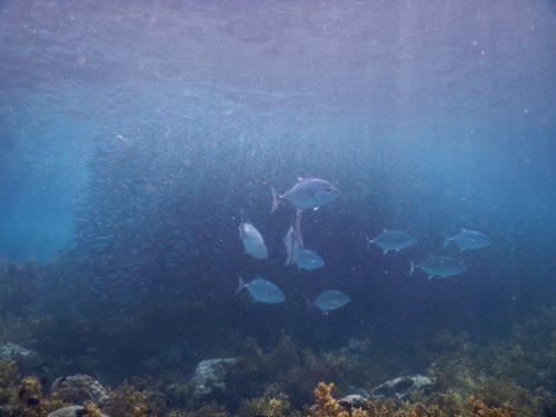ダイビング中に見たイワシの群れ