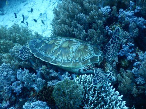 首を突っ込んで眠るウミガメ