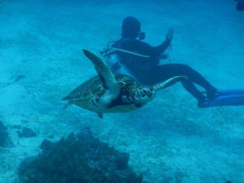ダイバーを縫うように泳ぐウミガメ