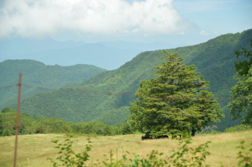 山田牧場の牛の放牧の様子