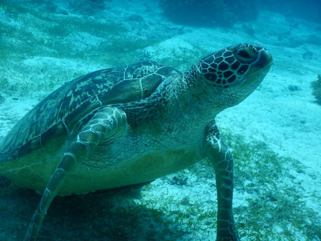バリカサグ島のウミガメを正面から