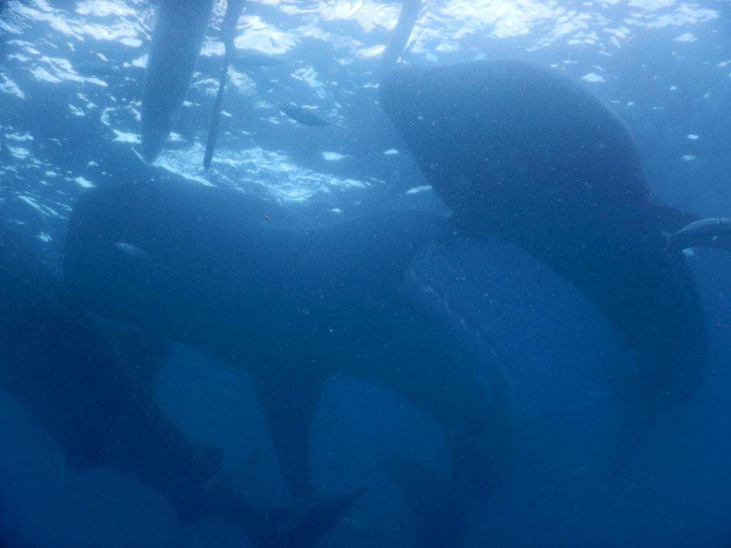 たくさんのジンベイザメが