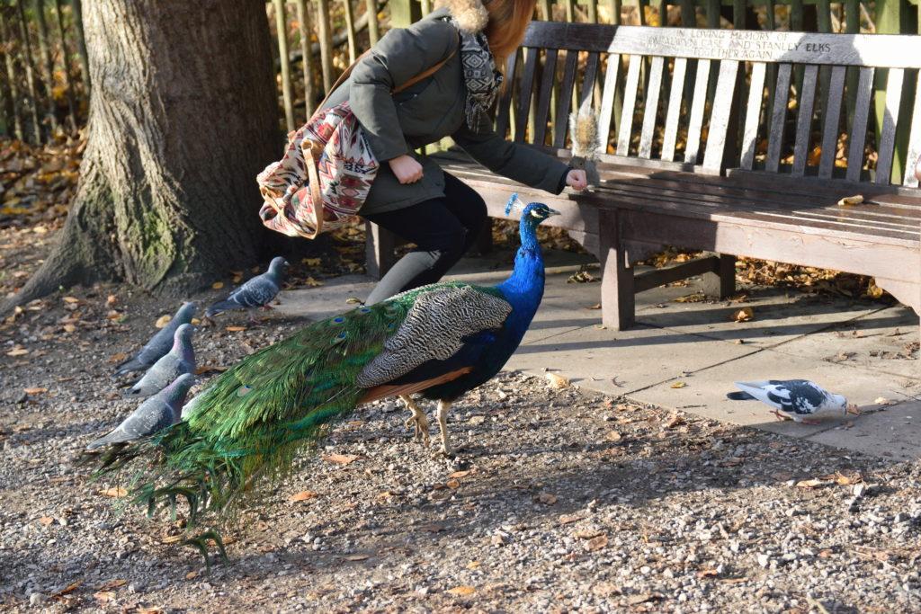 公園内にいた孔雀