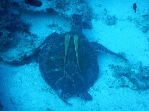 パングラオ島のポイントで見たウミガメ