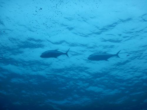 海面近くを泳ぐロウニンアジ