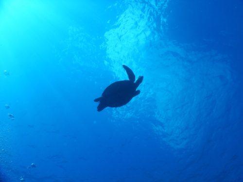 浮上するウミガメを下から