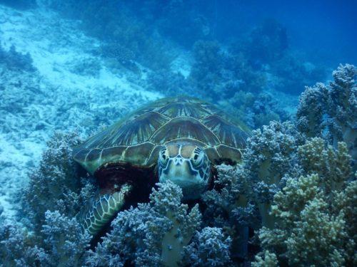 遠くを見つめるウミガメ