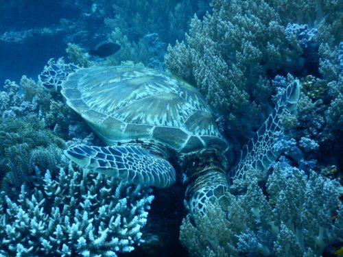 水草に首を突っ込んで眠るウミガメ