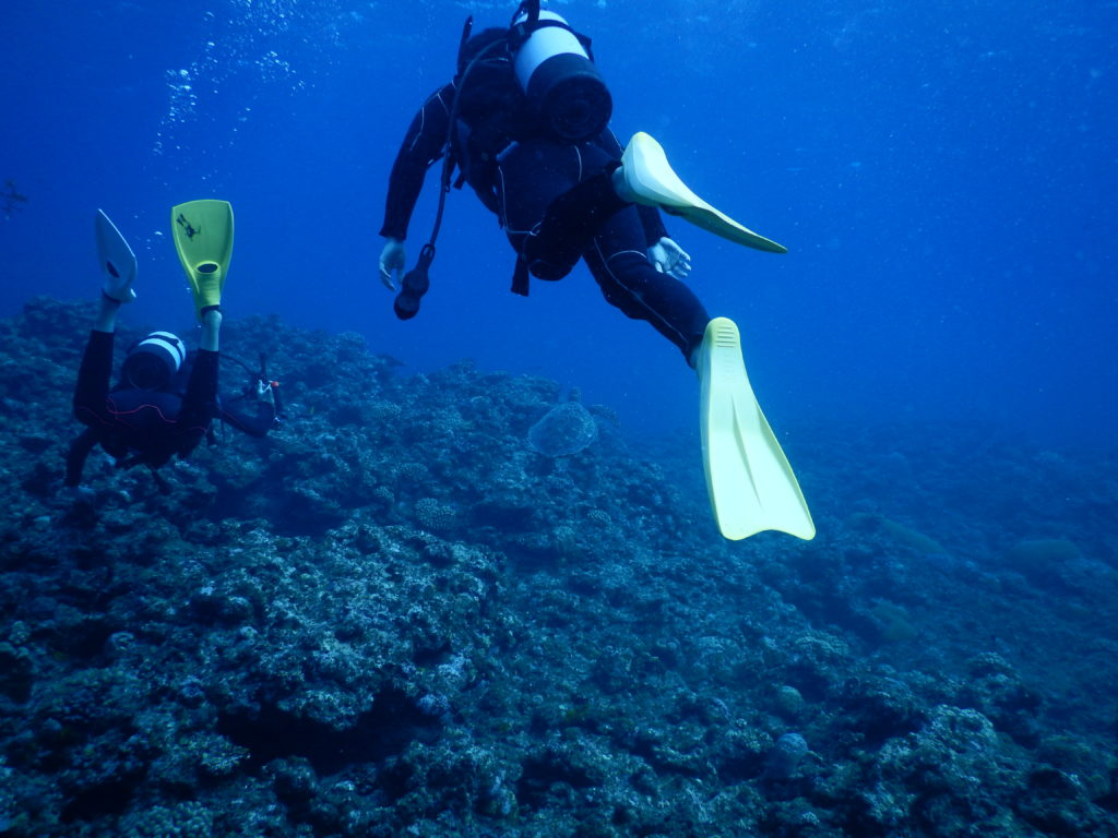 石垣のアオウミガメ